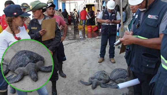 Tortuga verde era pescada por inescrupulosos pese a estar en peligro de extinción