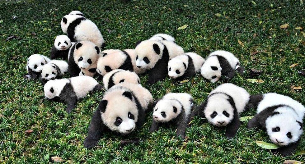 Conservación funciona para el panda, pero debe aumentar para salvarlo