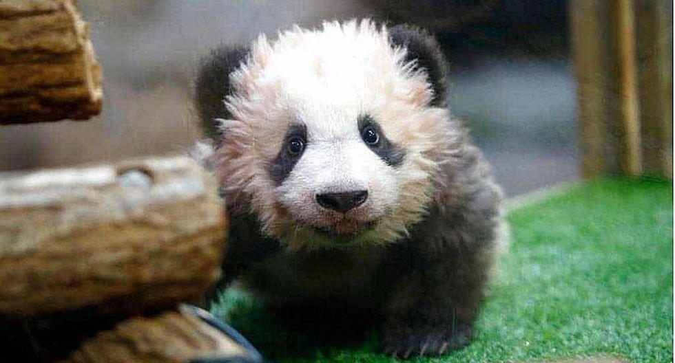 ¡Qué ternura! Nace en Francia el primer panda bebé