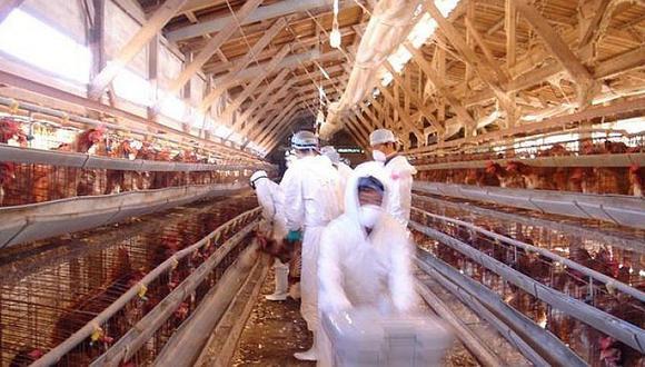 """Matan medio millón de aves contra """"propagación"""" de gripe aviar"""