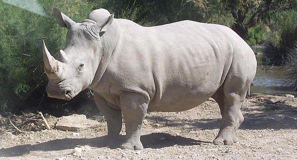 Toman medida desesperada para evitar extinción del rinoceronte blanco