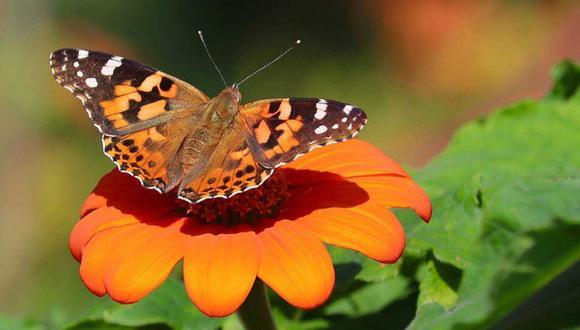 Descubren que rara mariposa imita a los pájaros en sus vuelos