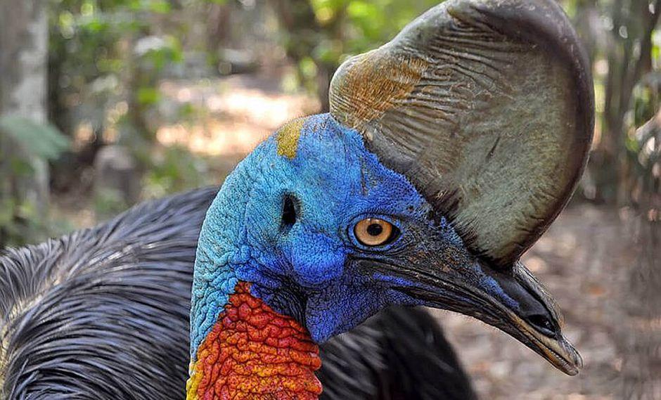 El ave 'más peligroso del mundo' mata a su amo