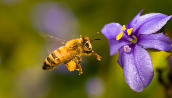 Olor de flores hace que abejas agresivas se vuelvan mansitas