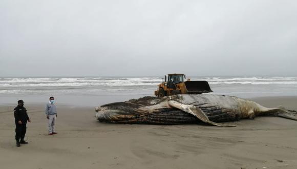 Lambayeque: entierran a ballena jorobada que varó en playa de Mórrope