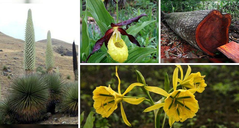 Conoce las 10 plantas en extinción del Perú (FOTOS)