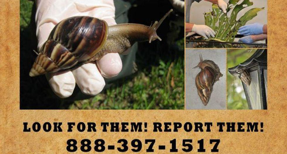 EEUU: Alerta por aparición de caracoles gigantes [VIDEO]