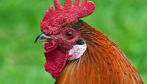 La gallina defendió valientemente a los patitos de la voraz cobra. (Foto referencial - Pexels)
