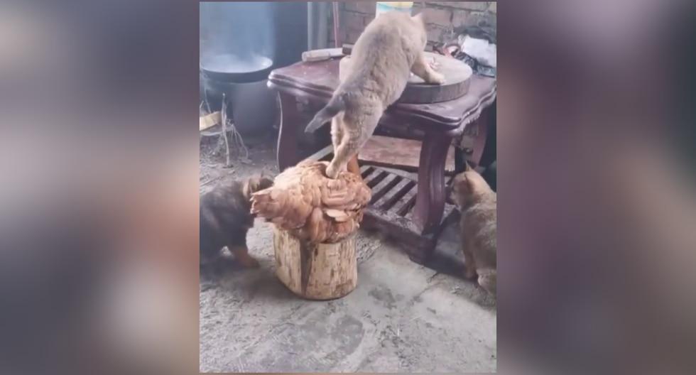 El perrito usó a la gallina como punto de apoyo para alcanzar una mesa y devorar el alimento. (Foto: Esse é o momento de rir en Facebook)