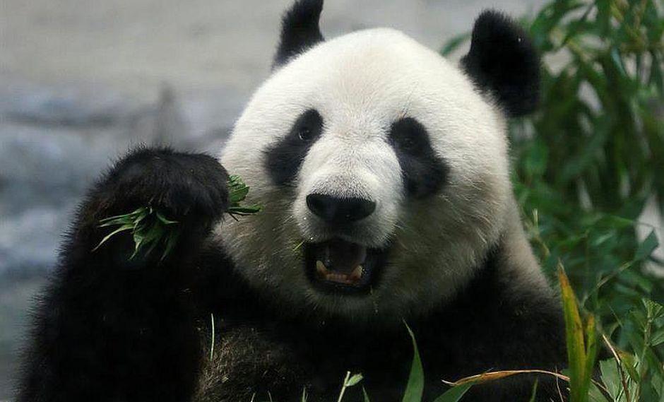 Japón: bebé panda nacido el lunes con 150 gramos goza de buena salud