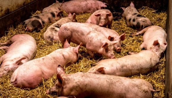 Dos jóvenes son investigados por matar más de 70 cerdos por diversión