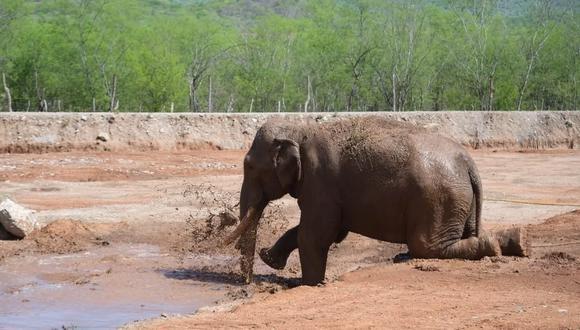 La historia de Big Boy pretende llevarse a la pantalla grande a través de un documental. Su rescate del cautiverio es el inicio de un proceso de recuperación de más animales que se encuentran en espacios no adecuados para desenvolverse o en peligro de extinción.