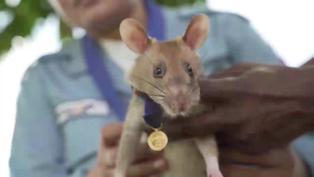 """La rata """"buscaminas"""" más famosa se jubila en Camboya"""