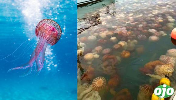 Callao: proliferación de medusas malaguas en La Punta