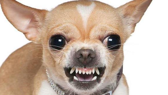 De entre todas las razas de perros, los chihuahuas son los menos recomendables por ser agresivos
