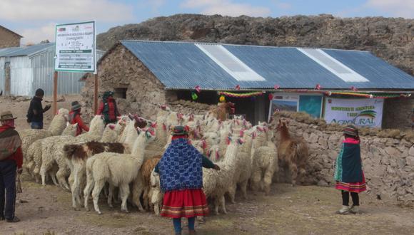 Huancavelica: Agro Rural protege a más de 27 mil 500 cabezas de ganado y cultivo de hortalizas con la construcción de 275 cobertizos y 160 fitotoldos para afrontar las temporadas de bajas temperaturas. (Foto: Agro Rural)