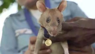 Una rata detectora de minas es premiada en el Reino Unido