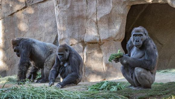 El comunicado no dice cuántos de los 20 gorilas del zoológico de Atlanta están siendo tratados de coronavirus.
