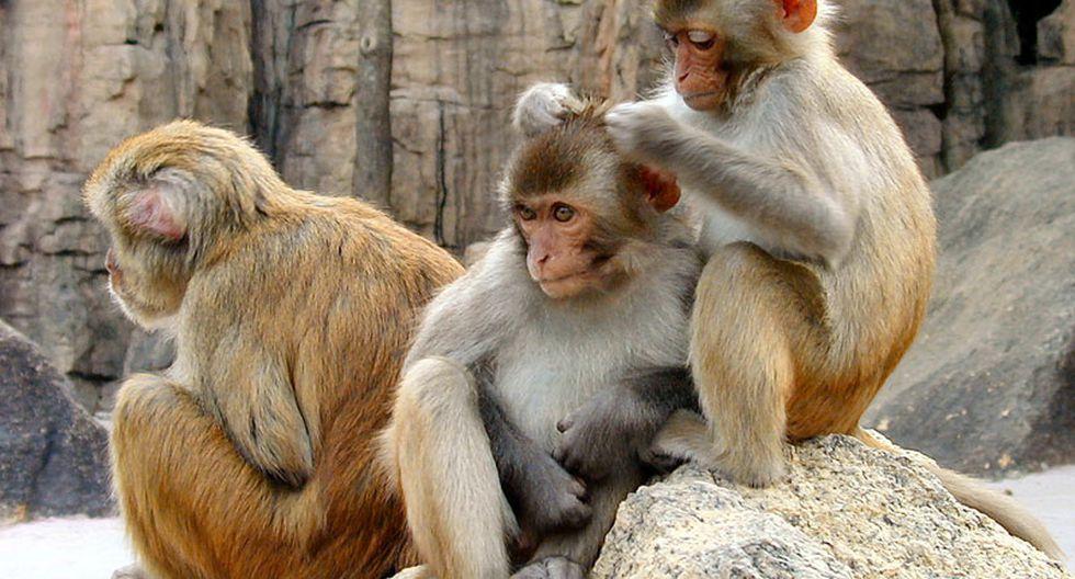 India: simios mantendrán a raya a monitos revoltosos en juegos deportivos