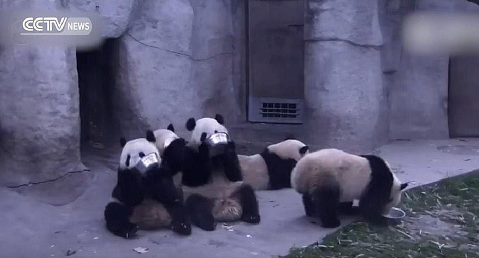 YouTube: Ositos panda hambrientos son la sensación en las redes [VIDEO]