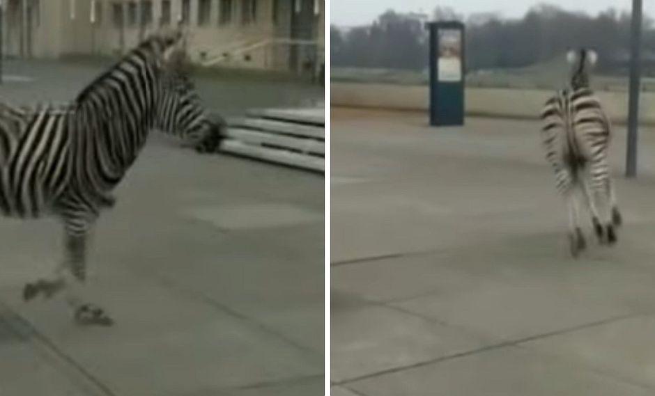 Cebra muere tras escapar de un circo navideño (VIDEO)