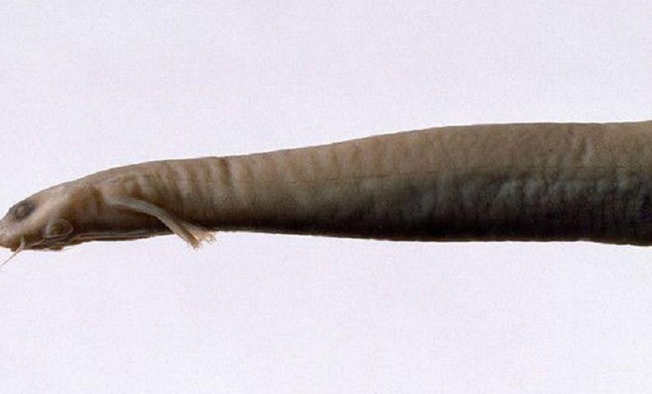 Candirú: Esta es la verdad del pez carnívoro que se alimenta de genitales