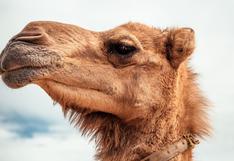 Camello deja boquiabiertos a muchos en las redes por su increíble fuerza