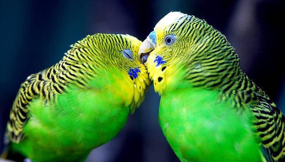 Aves, símbolo de amor verdadero, también son infieles y tramposas