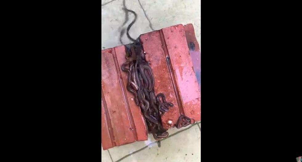 Un hombre se llevó tremendo susto al encontrar decenas de pequeñas serpiente en una pila de ladrillos. El video es viral en redes sociales. (YouTube)