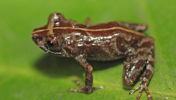 Se trata de una rana Pristimantis sira, registrada en bosques de montaña entre los 1,550 a 2,200 metros sobre el nivel del mar (Foto: Sernanp)