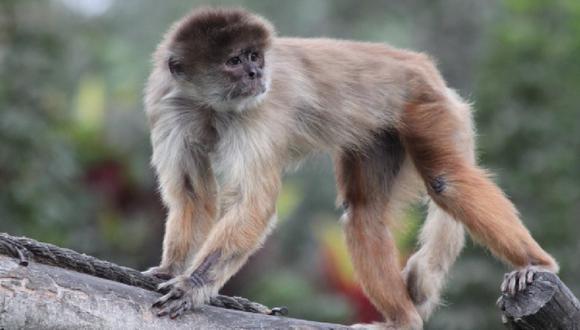 Año del Mono: El Parque de las Leyendas te invita a conocer sus 21 especies