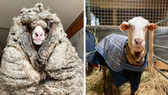 La oveja 'Baarack' fue rescatada de un bosque en Australia. La lana de su cuerpo pesaba más de 35 kilos y ponía en riesgo su salud. (Foto: Difusión)