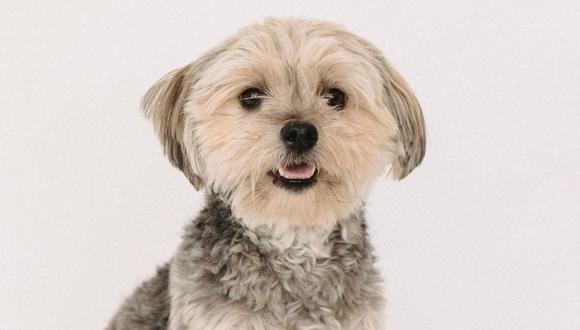 El perro terminó protagonizando una peculiar situación que asombró a muchos en YouTube. (Foto referencial - Pexels)
