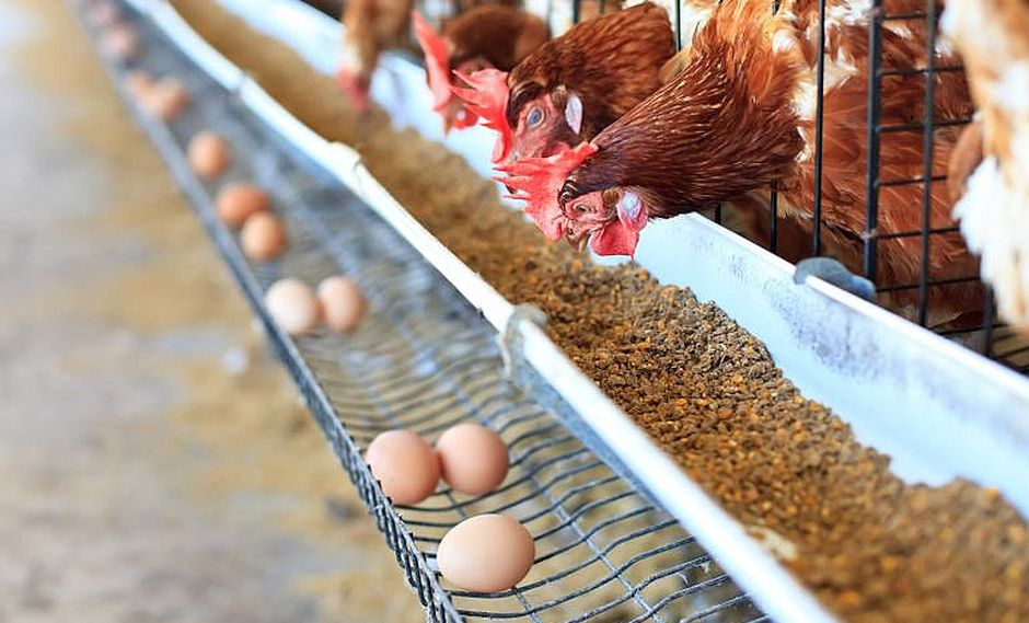 Prohíben venta de huevos de gallinas maltratadas al ser criadas entre rejas