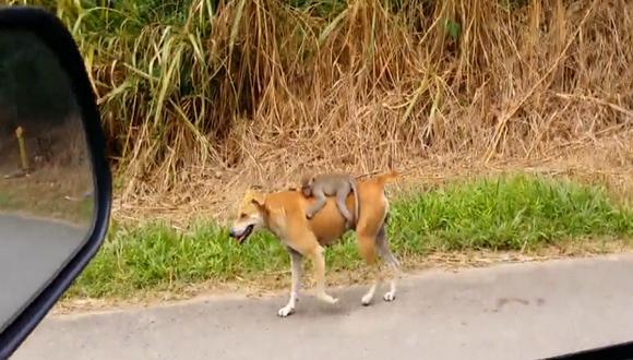Facebook: Video de perra que 'adopta' a monito huerfano conmueve en redes sociales
