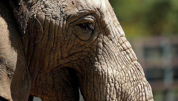 Elefanta queda viuda y buscan que deje zoológico para vivir en santuario