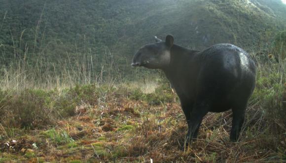 El registro del animal se logró gracias a las cámaras trampa en área de conservación de Pacaipampa. (Foto: Difusión)