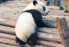 Nacen lindos pandas gemelos en zoológico de Francia