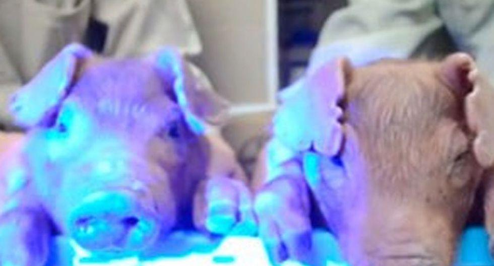Insólito: Científicos crean cerdos que brillan en la oscuridad [VIDEO]