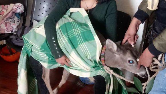 Cajamarca: venado que era utilizado como mascota fue rescatado de una vivienda (Foto Difusión).