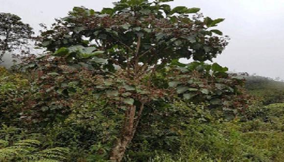 El árbol de la quina que destaca, principalmente, por sus propiedades medicinales al cobrar fama mundial por haber un tratamiento eficaz contra la malaria, hoy lucha por sobrevivir. (Foto: Difusión / Gobierno Regional de Cajamarca)