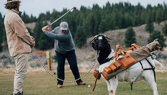 Golfistas despiden a los cadis y utilizan cabras para llevar sus palos (VIDEO)