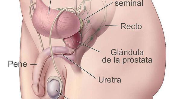 Conozca los órganos del aparato  reproductor masculino